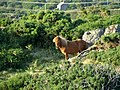 Pony grazing amongst the gorse bushes - geograph.org.uk - 200431.jpg