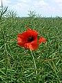 Poppy and oilseed rape, near Tilshead - geograph.org.uk - 452177.jpg
