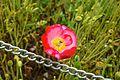Poppy flower in dachigam national park.jpg