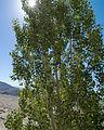 Populus nigra 'Afghanica' Tikse Gompa.jpg