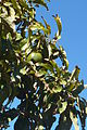 Portugal - Algarve - Paderne - avocado tree (25226603863).jpg