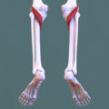 Posterior compartment of leg - popliteus muscle.png