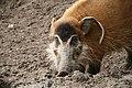 Potamochoerus porcus (6337861282).jpg