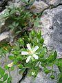 Potentilla caulescens.jpg