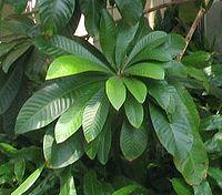 Pouteria sapota - marmalade tree - desc-leaf cluster - from-DC1