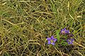 Prairie gentian solidago nemoralis purple blossoms growing in curly grass.jpg