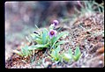 Primula cusickiana flowering in SW Idaho 2.jpg