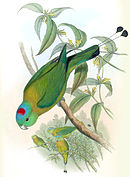 Drawing of a green parrot with yellow shoulders and a blue and red crown