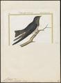 Progne dominicensis - 1700-1880 - Print - Iconographia Zoologica - Special Collections University of Amsterdam - UBA01 IZ16700209.tif