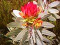 Protea nitida growth bud - Greyton SA.JPG