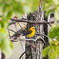 Prothonotary Warbler -53 100- (36296568596).jpg
