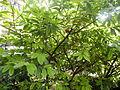 Prunus laurocerasus (2).JPG