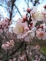 Prunus mume Koutoji1.jpg