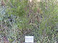 Prunus ramburi Habitus 2010-7-17 JardinBotanicoHoyadePedraza.jpg