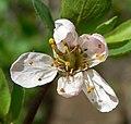 Prunus subcordata 4.jpg
