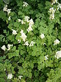 Pseudofumaria alba02.jpg