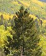 Pseudotsuga menziesii subsp glauca Santa Fe 1.jpg