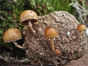 Psilocybe hispanica - Deconica coprophila