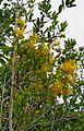 Psittacanthus robustus (Mart.) Mart. - Flickr - Alex Popovkin, Bahia, Brazil (3).jpg