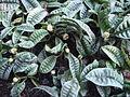Psychotria ankasensis 1.JPG