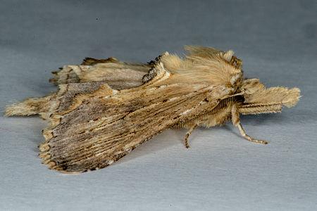 Pterostoma palpina, Lodz(Poland)03(js).jpg
