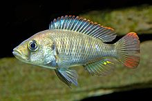 Pundamilia (Haplochromis) nyererei -naaras.jpg