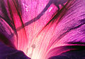 PurpleGlory1-Close.jpg