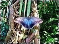 Purple Blue Butterfly - Flickr - pinemikey.jpg