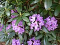 Purple Flowers in Franklin, Massachusetts.jpg
