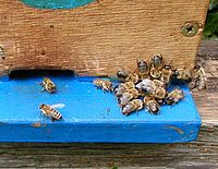 Worker bees (left) emerging from hive to push away a group of drones (right)
