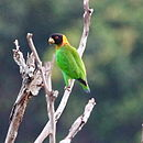 A green parrot with a yellow neck, a black head, and red irises
