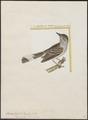 Pyrocephalus tyrannulus - 1700-1880 - Print - Iconographia Zoologica - Special Collections University of Amsterdam - UBA01 IZ16500351.tif