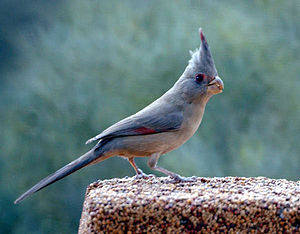 Cardinalis - Female desert cardinal