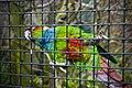 Pyrrhura cruentata -Harewood Bird Garden, Leeds, England-8a.jpg