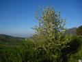 Pyrus-sicanorum-tree.png