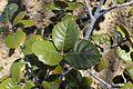 Quercus alnifolia 01.jpg