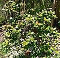 Quercus costaricensis 1.jpg