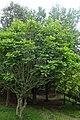 Quercus pontica kz02.jpg