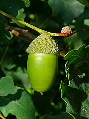 Dub letný - plod (žaluď)