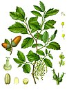 Quercus suber - Köhler–s Medizinal-Pflanzen-254.jpg