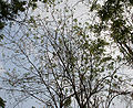 Quickstick (Gliricidia sepium) canopy from below in Kolkata W IMG 4072.jpg