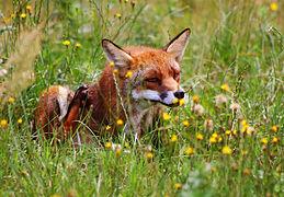 Rød ræv (Vulpes vulpes) scratching.jpg