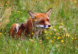 Wildness - A wild red fox.