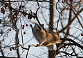 Raccoon and persimmons (6565982143).jpg
