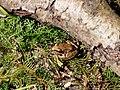 Rana arvalis in the Teufelsbruch swamp 05.jpg