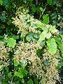 Rangiora plant.jpg