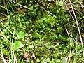 Ranunculus gmelinii 7-eheep (5097957886).jpg