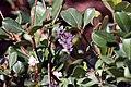 Raphiolepis Springtime 1zz.jpg