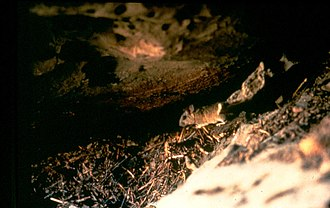 Pack rat - Bushy-tailed woodrat on midden