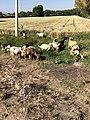 Rebaño de ovejas a campo abierto.jpg